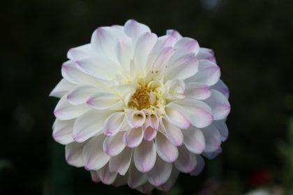 isolated white dahlia flower