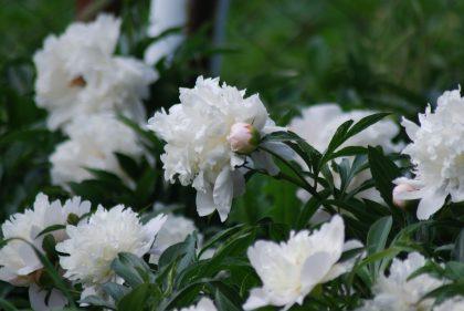 garden of white peonies