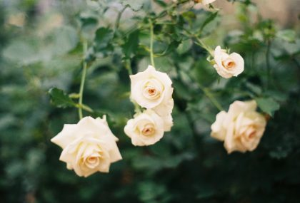 a small branch full of white roses