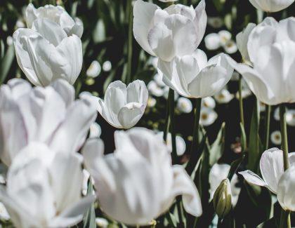 garden of white tulips