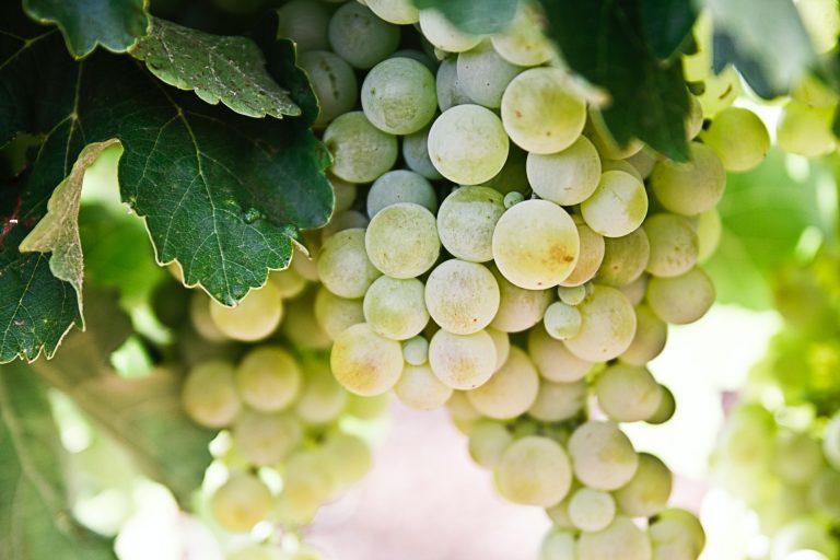 muscat grapes